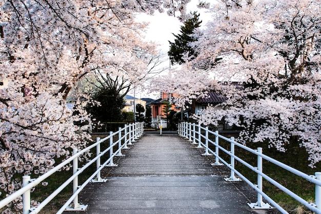 Belles fleurs de cerisier. fleurs de sakura au japon. voyage au printemps. Photo Premium