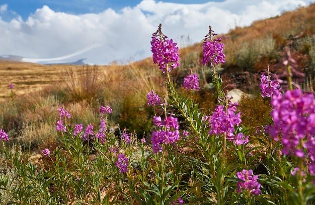 Belles fleurs dans le champ. coucher de soleil dans la steppe, beau ciel du soir avec nuages, plato ukok Photo Premium