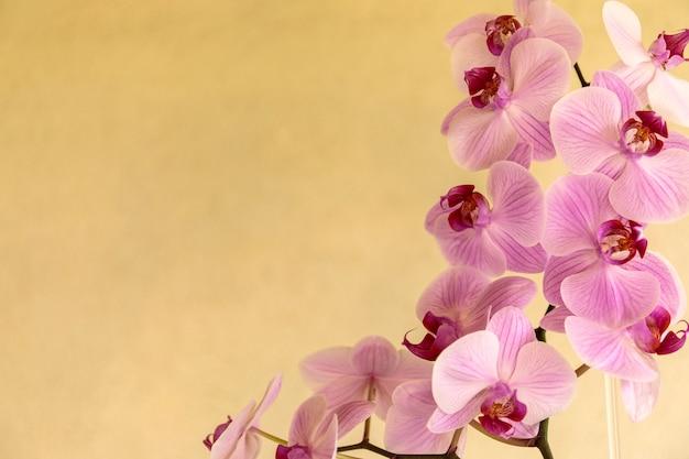 Belles fleurs d'orchidées phalaenopsis, sur fond jaune Photo Premium