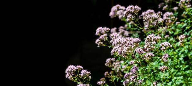 Belles Fleurs D'origan Isolés Sur Fond Noir Photo Premium