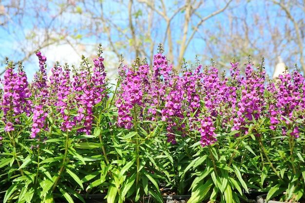 De belles fleurs violettes, angelina pourpre, avec de grands arbres et un ciel bleu Photo Premium