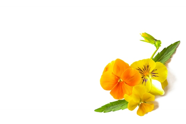 Belles Fleurs Violettes Jaunes, Coin Floral Disposé Sur Fond Blanc, Espace Copie Photo Premium