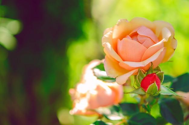 Belles roses sur un fond vert Photo Premium