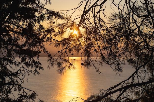 Belles Silhouettes De Lever De Soleil De Branches De Pin Remplies De La Lumière Dorée Du Soleil De L'aube Photo Premium