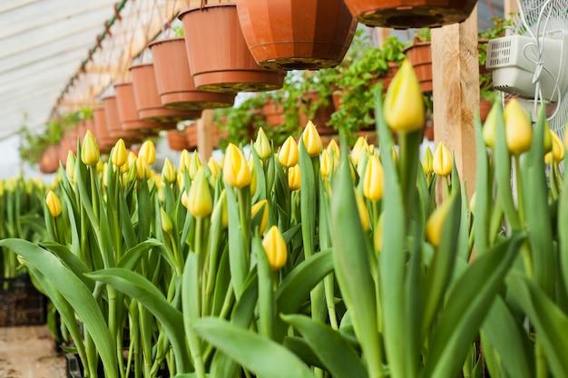 De belles tulipes cultivées en serre Photo Premium