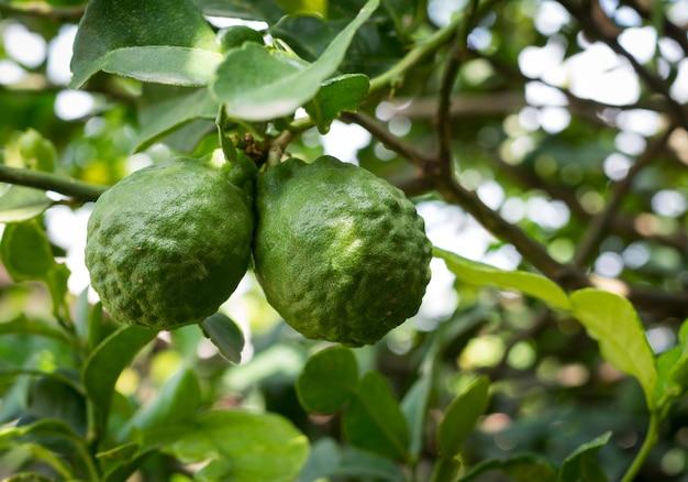 Bergamote fraîche verte sur l'arbre, mise au point sélective Photo Premium