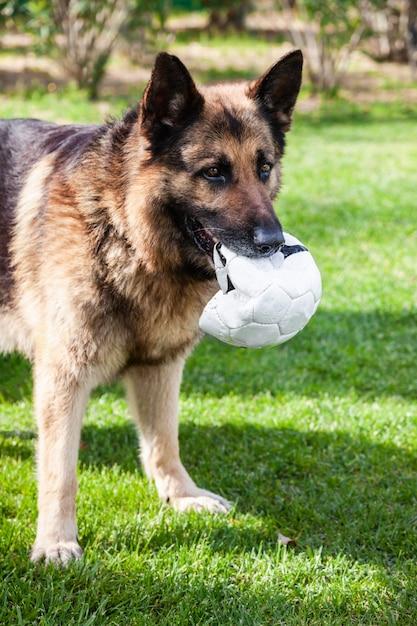 Un berger allemand avec un ballon de foot dans la bouche Photo Premium