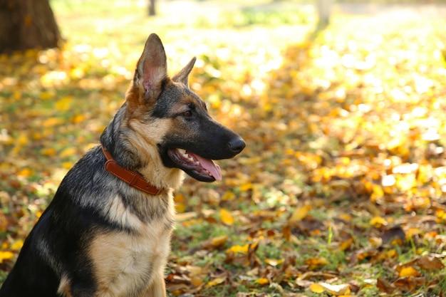 Berger allemand dans le parc en automne. chien en forêt Photo Premium