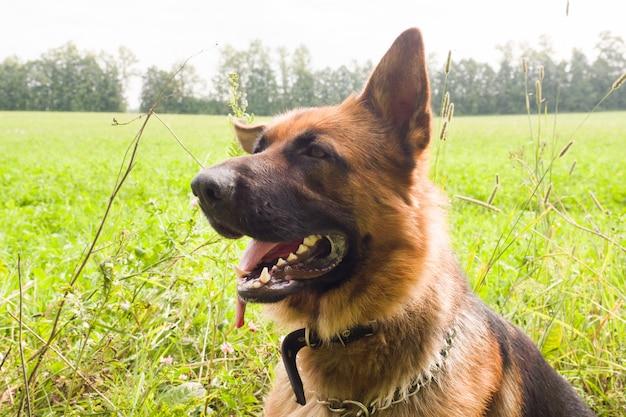 Berger allemand marchant au repos dans le parc sur l'herbe un jour d'été Photo Premium