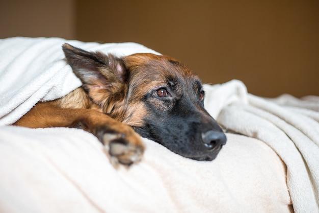 Berger allemand mignon dans une couverture sur le lit. beau chien à la maison. Photo Premium