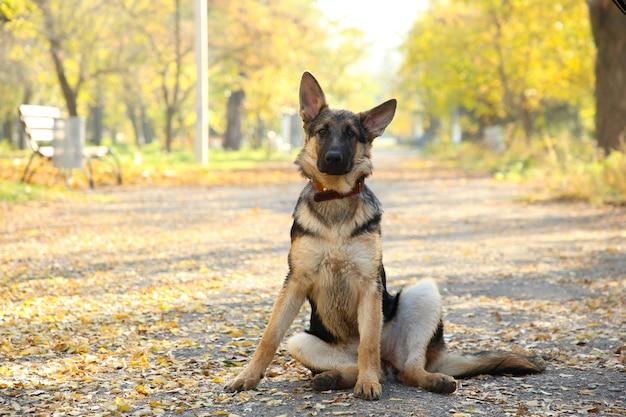 Berger allemand sur la piste dans le parc en automne. Photo Premium