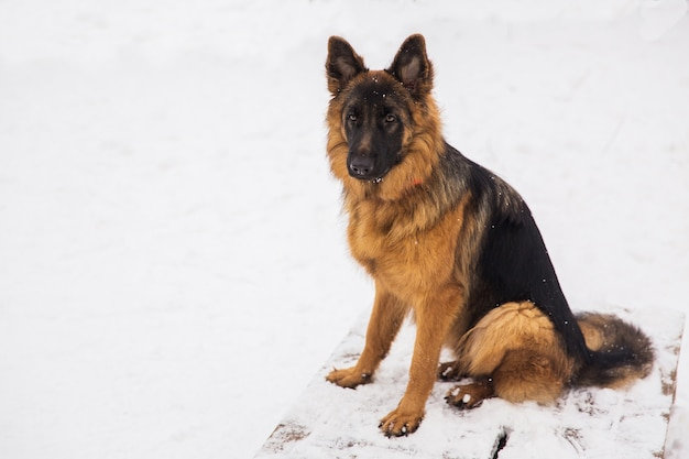 Berger brun assis sur la neige dans un parc. chien de race Photo Premium