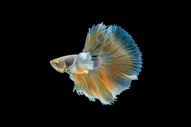 Betta splendens, poisson de combat siamois Photo Premium