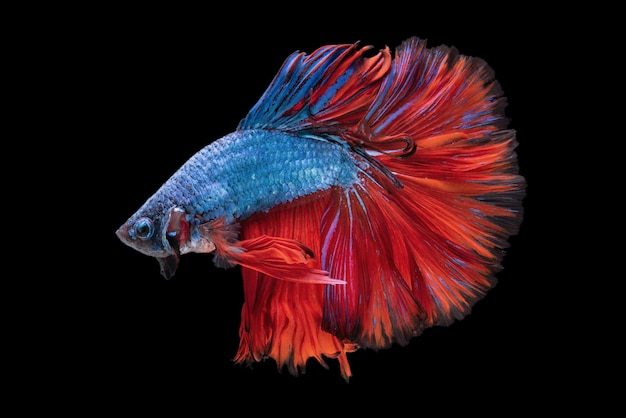 Betta Photo gratuit