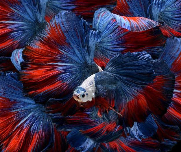 Bettas fantaisie colorées. Photo Premium