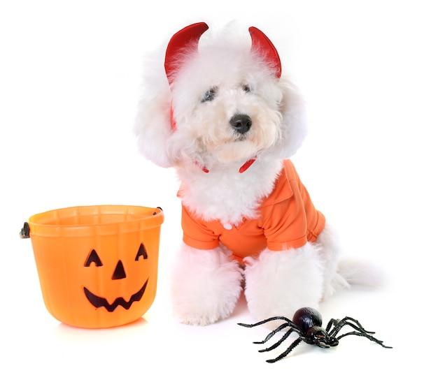 Bichon frise et halloween Photo Premium