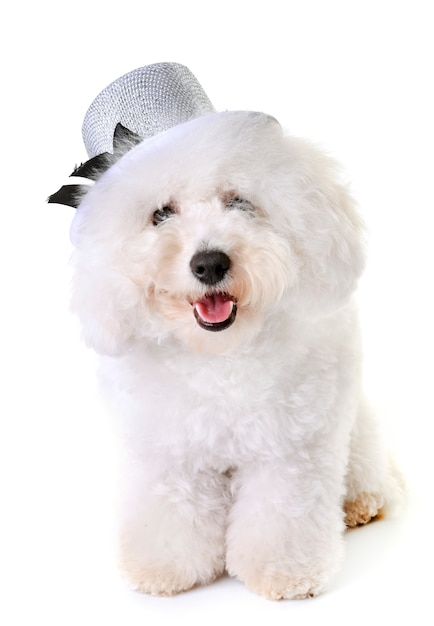 Bichon frise en studio Photo Premium