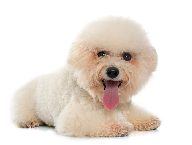 Bichon de race pure frise Photo Premium