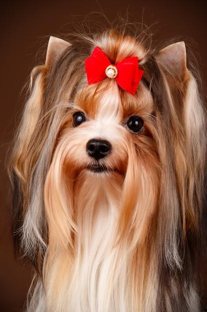Biewer Yorkshire Terrier Sur Fond Marron Photo Premium