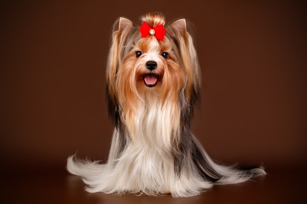 Biewer Yorkshire Terrier Sur Fond Marron Photo Premium
