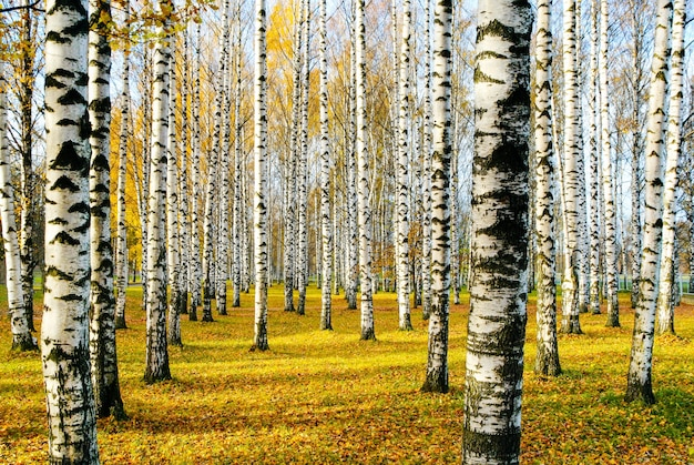 Birch Grove En Automne Photo gratuit