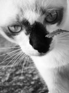 Birman chat noir et blanc thailande Photo gratuit