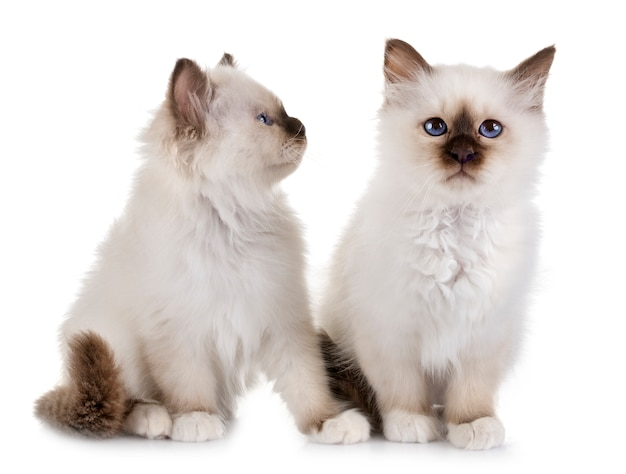 Birman chaton en studio Photo Premium