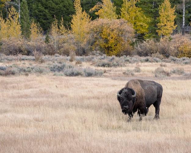 Bison D'amérique En Automne Sur Les Plaines De L'armoise Du Parc National De Grand Teton Photo Premium