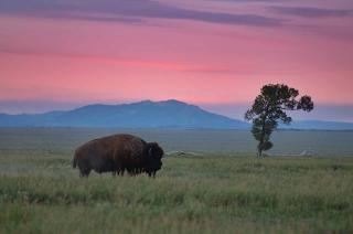 Bisons et des arbres isolés Photo gratuit