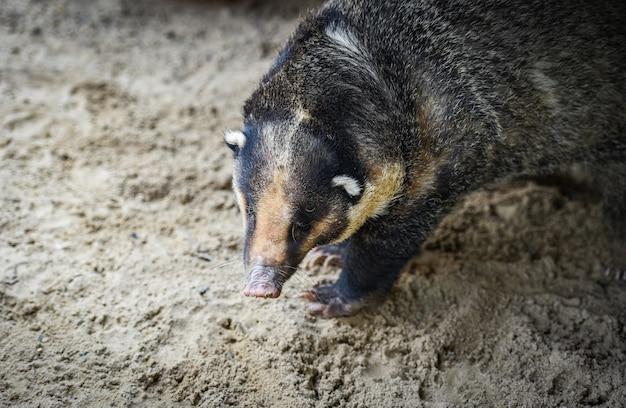 Blaireau De Porc - Arctonyx Collaris Blaireau Grand Porc Photo Premium
