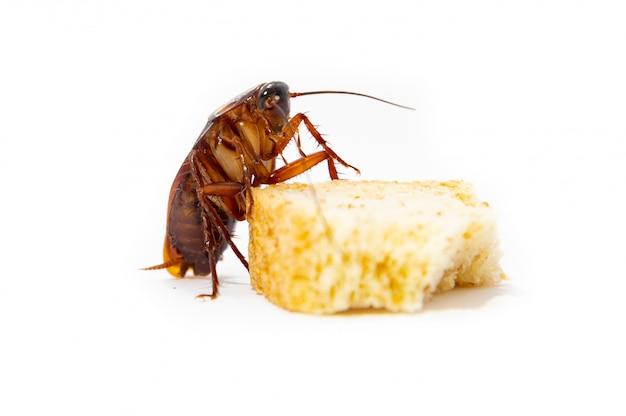 La blatte est une propagation de la contagion, la blatte mange du pain Photo Premium
