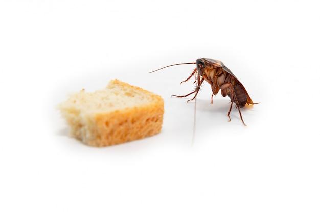 La blatte est une propagation de la contagion, la blatte trouve de la nourriture Photo Premium