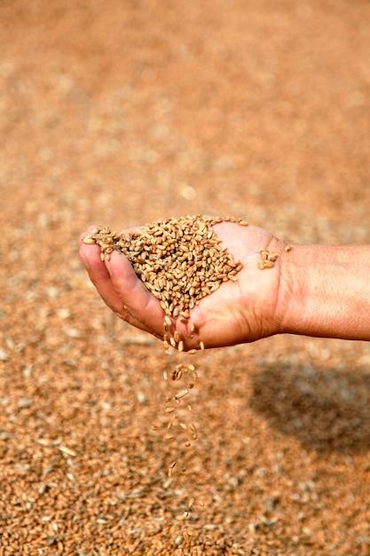 Blé et mains du vieux fermier Photo Premium