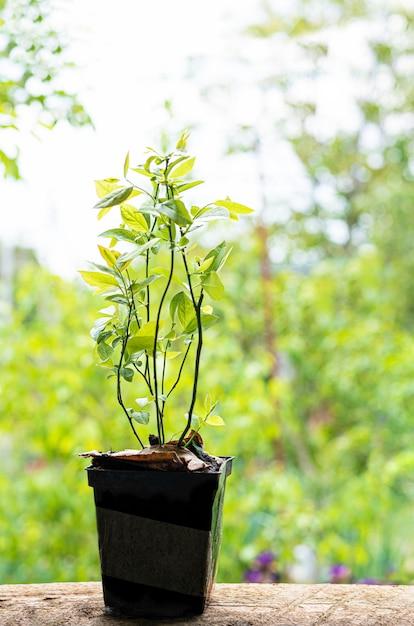 Les Bleuets Plantent Des Semis Dans Un Pot En Plastique Avec De La Terre Naturelle. Photo gratuit