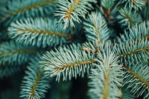 Blue fir tree branches close-up Photo Premium