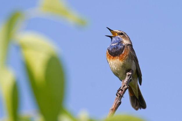 Bluethroat Chante Assis Sur Une Branche Contre Le Ciel Photo Premium