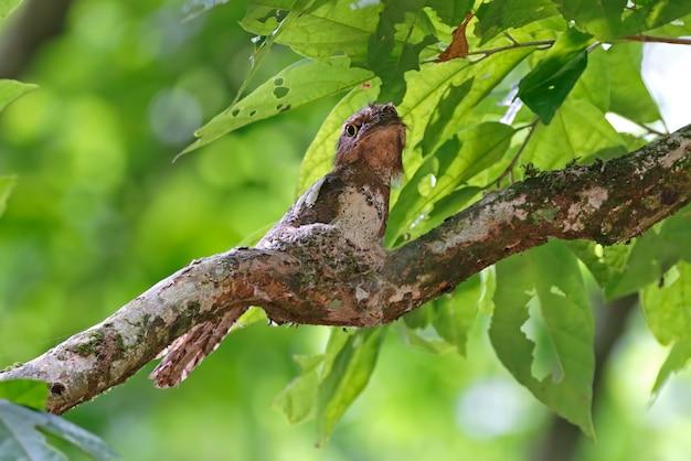 Blyth's frogmouth batrachostomus affinis mâle oiseaux sur le nid Photo Premium
