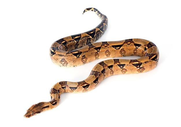 Boa Constrictor Photo Premium