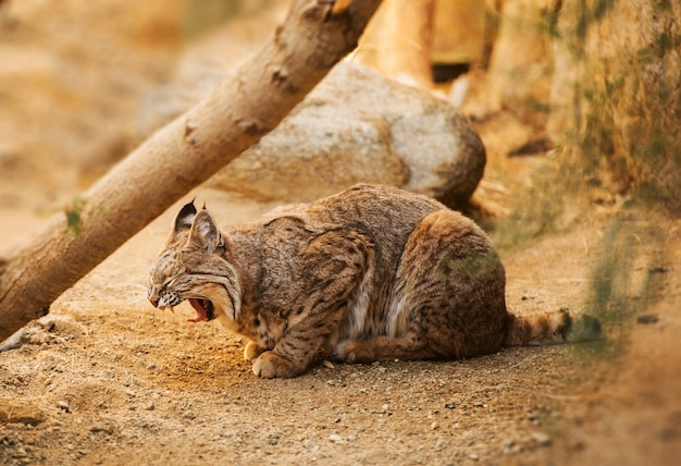 Bobcat adulte Photo gratuit