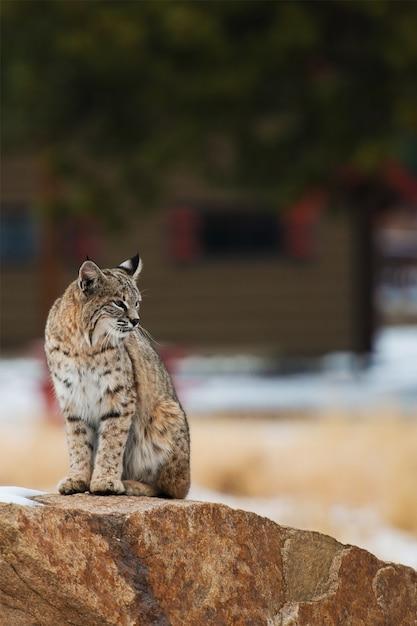Bobcat de colorado Photo Premium