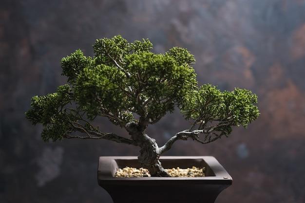 Bonsai juniperus chinensis Photo Premium