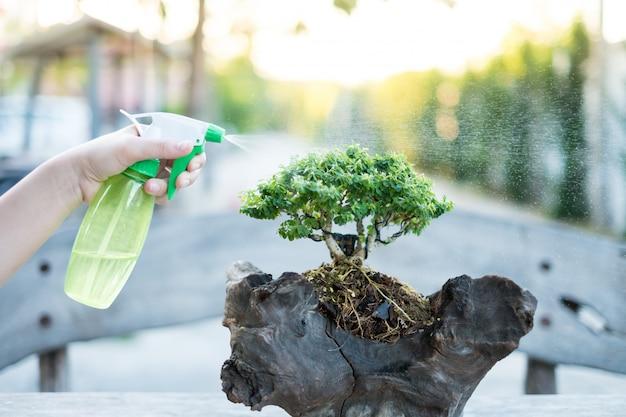 Bonsaï soins et tendre croissance houseplant. arroser un petit arbre. Photo Premium
