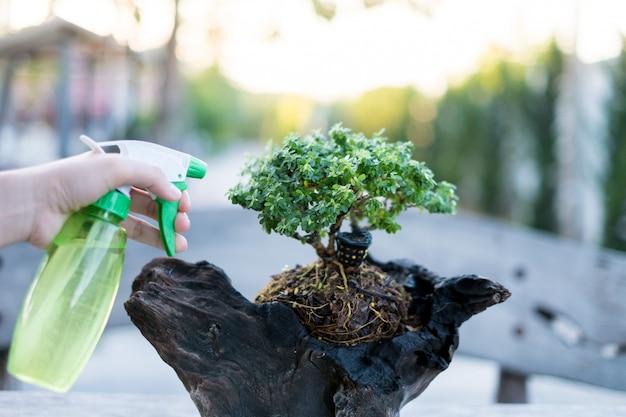 Bonsai soins et tendre croissance plante d'intérieur Photo Premium