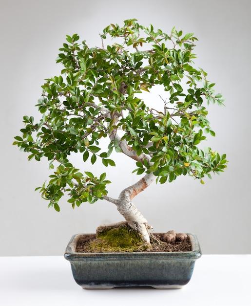 Un bonsai Photo Premium