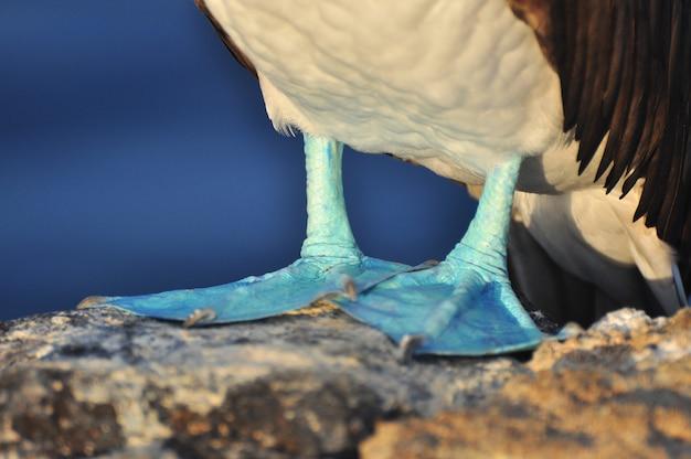 Boobie aux pieds bleus Photo Premium