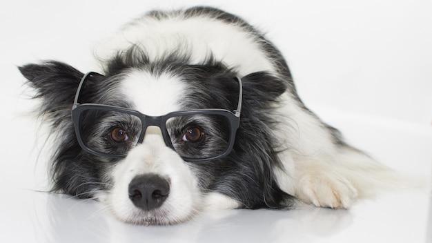 Border collie dog portant des lunettes noires isolées sur un fond blanc Photo Premium