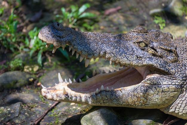 Bouche De Crocodile Se Bouchent Photo Premium