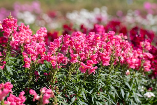 Bouchent antirrhinum majus l. (snapdragon) fleur dans gaden Photo Premium