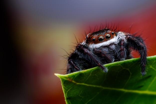 Bouchent araignée sauteuse sur feuille verte Photo Premium