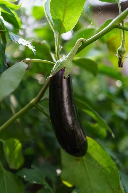 Bouchent L'aubergine Biologique Fraîche Dans Le Jardin. Photo gratuit